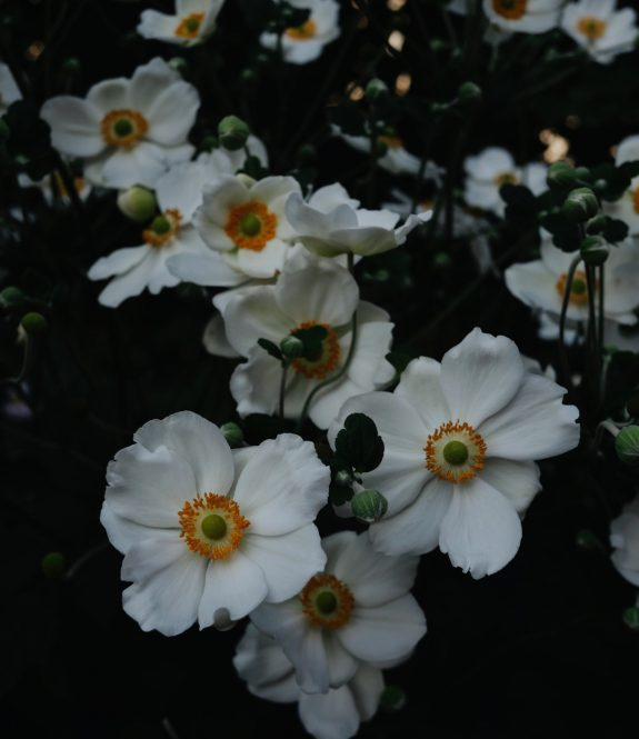 anemones-blanches